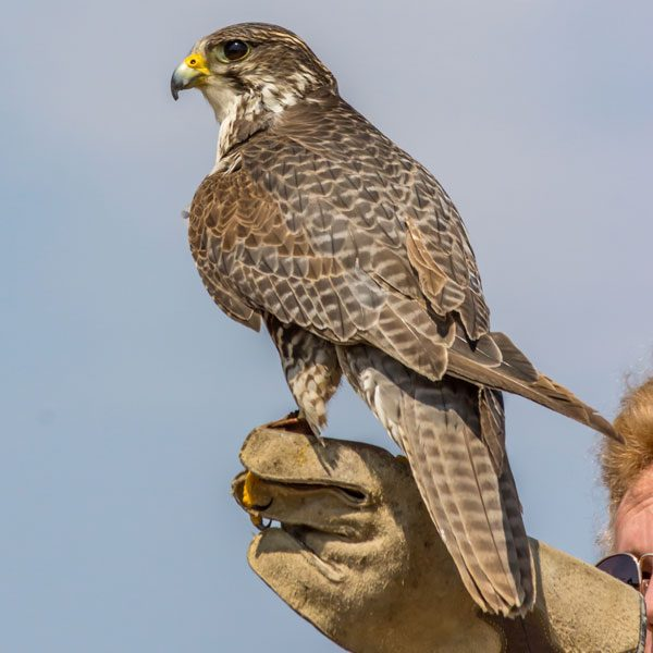 falconry educational presentation