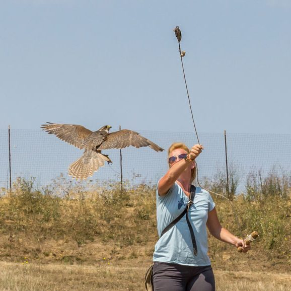 falconry presentation